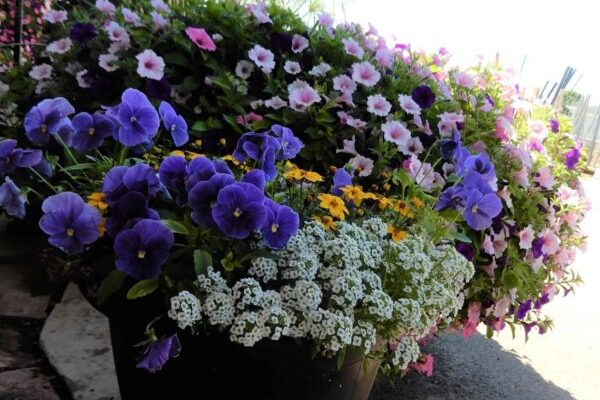 preplanted container colour