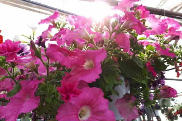 close up petunia hanging basket jul 2019
